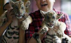 Bengalinių tigrų jaunikliai žavi Manilos zoologijos sodo lankytojus