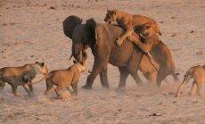 Liūtų gaujos ir drambliuko kova