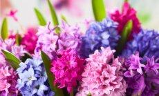 Hiacinto sodinimas, auginimas ir priežiūra