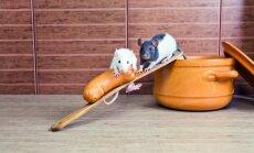 Kada žiurkės atkeliaus į mūsų lėkštę?