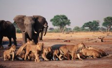 Dramblys prieš gaują liūtų (asociatyvi nuotr.)