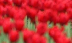 Tulpės, meilė, bučiniai, pavasaris