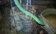 Gyvatė, laikoma bute