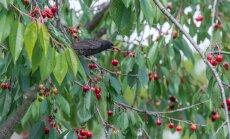Būdai, kurie padės apsaugoti uogų derlių nuo paukščių