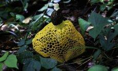Dictyophora genties grybas