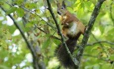 Truputėlį pailsėsiu... Paprastoji voverė