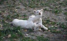 Liūtai albinosai (Asociatyvi nuotr.)