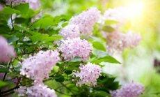 Pavasarinis stebuklas vasarį – žydinčios alyvų šakos
