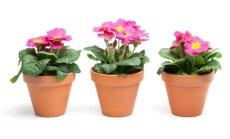 Kodėl nereikia berti žvyro ant gėlių vazono dugno?