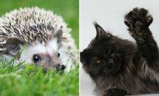 """Nykštukinis ežys ir Meino meškėnų veislės katė/  © Eve Photography ir felinologų draugijos """"Bubastė"""" nuotr."""