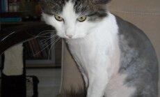 Namų ieško stilingas katinėlis Spirgis