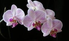 Orchidėjų priežiūra: išsamus falenopsio gidas