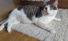 Namų ieško įspūdingo dydžio katinas Cukatas