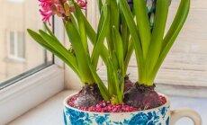 Keletas paprastų gudrybių, kaip pražydinti svogūnines gėles