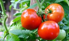 Ekspertų patarimai, ką vertėtų žinoti apie pomidorų krūmo formavimą