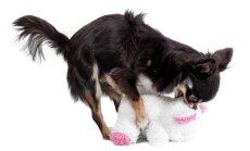 Su žaisliuku užsiimantis Čihuahua veislės šuo