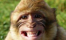 Beždžionės turėtų džiūgauti kartu su gyvūnų teisių gynėjais : jų pervežimas į laboratorijas - atšauktas