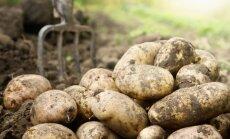 Bulvių kasimo ir laikymo klaidos