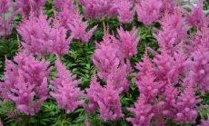 Kininė astilbė 'Vision in Pink' žavi rožinėmis ir mielomis žiedų šluotelėmis.