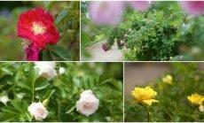 VU Botanikos sodo rožės