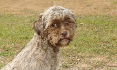 Tonikas - šuo su žmogaus veidu / RennyMillsPhototography nuotr.