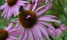 Krūmai ir gėlės, kuriais priviliosite drugius ir bites