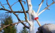 Medžių balinimas: kada, kaip ir, apskritai, ar reikia?