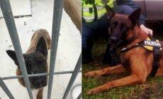 Tarnybinis šuo Rudis (kairėje - taip šuo atrodė šiandien ryte, R. Stankevičiaus nuotr.)