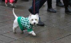 Kaune pražygiavo kalėdinė Vakarų Škotijos baltųjų terjerų eisena