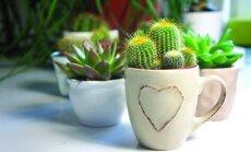 Kaktusai namuose: kaip komponuoti ir pražydinti