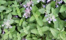 10 augalų, kurie padės atbaidyti kenkėjus sode ir darže