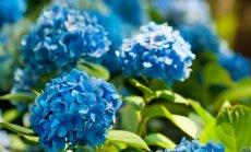 Mėlynos spalvos raminantis poveikis: kokius melsvus augalus auginti savo sode