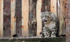 Leopardas zoologijos sode