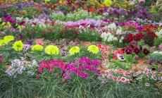 Ruošiamės rudens sezonui: kaip dalijami gėlių kerai