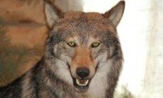 Vilko iškamša
