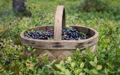 Gamtininkas: kai kur Lietuvoje uogautojai šiemet galės atostogauti