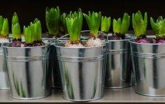 Pavasarinės gėlės