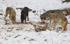 Daugėja vilkų, lūšių ir lokių