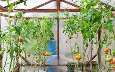 Šiltnamio paruošimas pavasariui: svarbiausi darbai