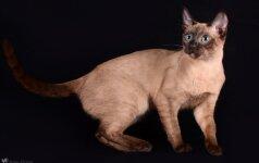 Tarptautinėje kačių parodoje – reto grožio gyvūnai