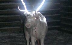 Suomijos elnių augintojai pradėjo žvėris purkšti švytinčiais dažais