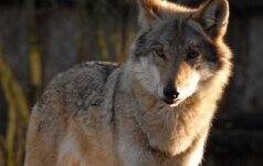 Kupiškio rajone bus leista sumedžioti 2 vilkus