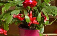 Paprastai kalėdiniai kaktusai žydi vėlyvą rudenį arba žiemą.