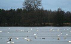 Žiema paukščių negąsdina: Dusios ežere verda gyvybė
