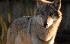 Rokiškėnų šeima negali atsistebėti: į kiemą vidury dienos atsliūkino vilkas