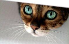 Užburiantis katės žvilgsnis: šioms akims neįmanoma atsispirti