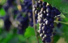 Gurmaniška kelionė: La Riochos vynuogių derliaus nuėmimo šventė