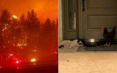 Liepsnose užsimezgė neįprasta draugystė: nuo gaisro kartu gelbėjosi katė ir višta