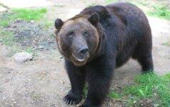 Žvėrinčiuje gyvenantis lokys per Pasaulinę aplinkos dieną lauks lankytojų ir medaus