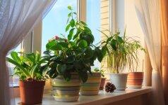 Kambarinės gėlės pavasarį: pagrindiniai darbai